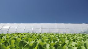 Camera movement along a young green seedlings сhinese cabbage near greenhouse. stock footage