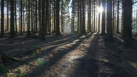 Camera movement alonga a path through in a spruce forest. A autumn day. Has a dreamy fairy look and sunbeams shining through the forest and brings shadows stock video