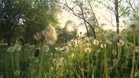 Camera movement among dandelions. Towards the sun stock video footage