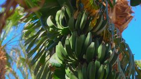 Banana tree leaf and fruit. Camera movement from top to bottom of banana tree fruit and leaf against the background of a bright blue sky stock video footage