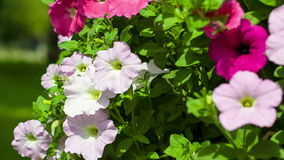 Camera movement from top to down on a bed with petunias Royalty Free Stock Photography