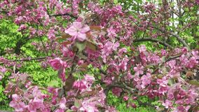 The camera moves along the apple-tree blossoming red flowers in sunny spring day.  stock footage