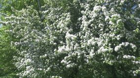The camera moves along the apple-tree blossoming white flowers in sunny spring day.  stock footage