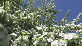 The camera moves along the apple-tree blossoming white flowers in sunny spring day.  stock video footage