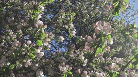 The camera moves along the apple-tree blossoming white flowers in sunny spring day.  stock video