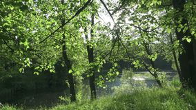 The camera moves along the coast of the flatter lake to summer sunny day. Beams of the sun shine in the camera through. Leaves of trees stock video footage