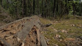 The camera moves along a log on which ants crawl. 4K stock footage