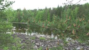 The camera moves along the pines growing on the stony river bank.  stock footage