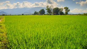 Camera Moves along Rice Field by Tropical Trees against Blue Sky. Closeup camera moves along green rice field against tropical trees hills blue cloudy sky stock footage