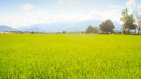 Camera Moves along Rice Field by Tropical Trees against Blue Sky. Closeup camera moves along green rice field against tropical trees hills blue cloudy sky stock video footage