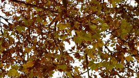 The camera moves around, bottom view, against the background of autumn trees with golden leaves.  stock video