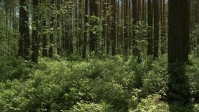 The camera moves forward over the thick grass in the pine forest. 4K stock video footage