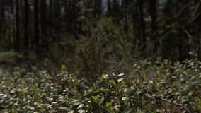 The camera moves forward over the thick grass in the pine forest. 4K stock footage