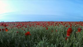 The camera moves next to the poppy field. The camera moves next to a field of poppy flowers stretching to the horizon stock video footage