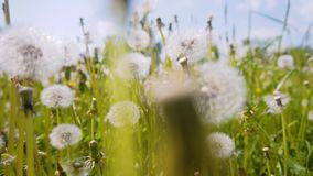 The camera moves right through the dandelion bushes. With dandelions fly around the seeds. Very cool movement right through the gr stock video footage