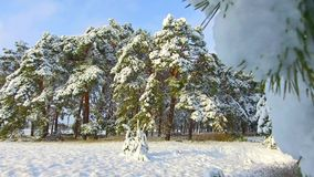 Camera moves among snow-covered trees during snowfall in forest at winter day steadicam shot. christmas tree the beauty Royalty Free Stock Photo
