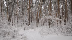Camera moves in a snowy forest with  lot of pine trees and then rises up. Incredibly beautiful wood in the winter seaso. Camera moves in a snowy forest with a stock video footage