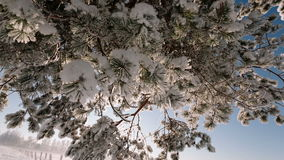 Camera moves from the top down and removes tree branches covered with snow. stock footage