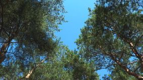 The camera moves from the tops of the pines. Against the background of the blue sky stock footage