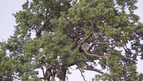 Camera moves towards the large beautiful tree stock video