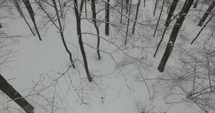 Camera moves among trees in forest at winter day. Touchdown the snow-covered forest. stock video