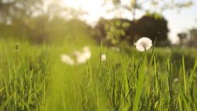 Camera moving forward through white dandelion flowers and fresh spring green grass on pretty meadow. Dandelion plant. Camera moving forward above white dandelion stock video