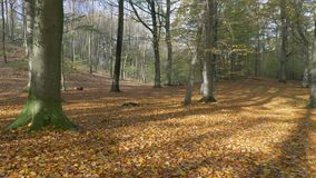 Camera panning over a colorful autumn forest. A suny day stock video