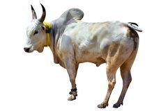South Indian village bull royalty free stock photo