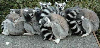 Ring Tailed Lemurs. Camera shy family  Royalty Free Stock Image