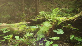 Camera slide near old Tree Stump with Fern leaves.  stock video