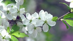 Camera Slowly Mowing Folowing Blooming Apple Tree Branch. Close Up Daytime Spring Footage stock footage