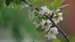 Camera Slowly Mowing Folowing Blooming Apple Tree Branch. Close Up Daytime Spring Footage stock video