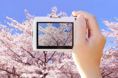 Camera taking photo with cherry Blossoms Stock Photo