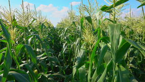 Camera travel along a corn field. Corn growing in rows on the field stock footage