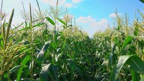 Camera travel along a corn field. Camera travel along a row of corn field stock video