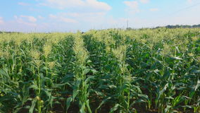 Camera travel along a corn field stock video footage