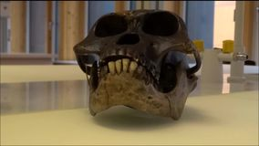 Model skull of Australopithecus afarensis Luci in a laboratory stock footage