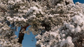 Camera will move from right to left taking off a tree branches sprinkled with snow. Camera will move from right to left taking off a tree branches sprinkled stock footage