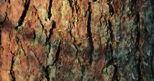 Camerabewegingen die naar omhoog de boomstam van een grote boom verwijderen stock videobeelden