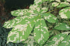 Cameraria ohridella in leaf. Leaf of chestnut tree attacked by horse-chestnut leaf miner, the Cameraria ohridella royalty free stock photography