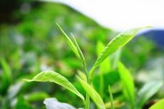 cameron średniogórzy liść herbaty potomstwa Fotografia Stock