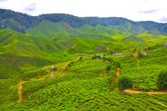 Cameron Highland Royalty Free Stock Photos