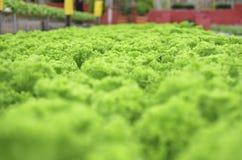Cameron Highland - exploração agrícola dos vegetais da hidroponia Fotografia de Stock