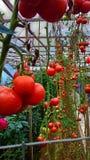 Cameron highland Fresh tomato tree Stock Images