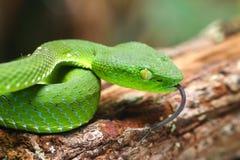 Snake, green tree viper Cameron Highland pit viper Trimeresurus nebularis Stock Photography