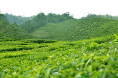 Cameron Highland - plantação de chá Imagem de Stock