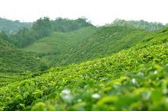 Cameron Highland - plantação de chá Imagens de Stock Royalty Free