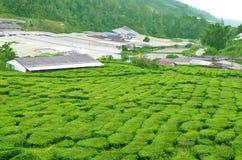 Cameron Highland - plantação de chá Fotografia de Stock