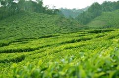 Cameron Highland - plantação de chá Imagem de Stock Royalty Free