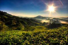 Cameron Highland Tea Plantation Royalty Free Stock Image